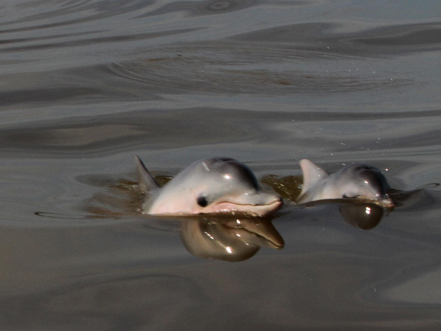 Guiana dolphins