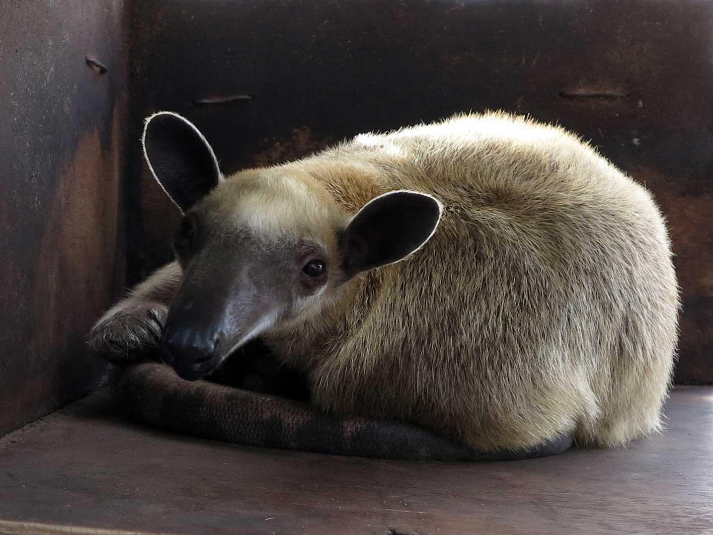 Lesser anteater, 'Jade'