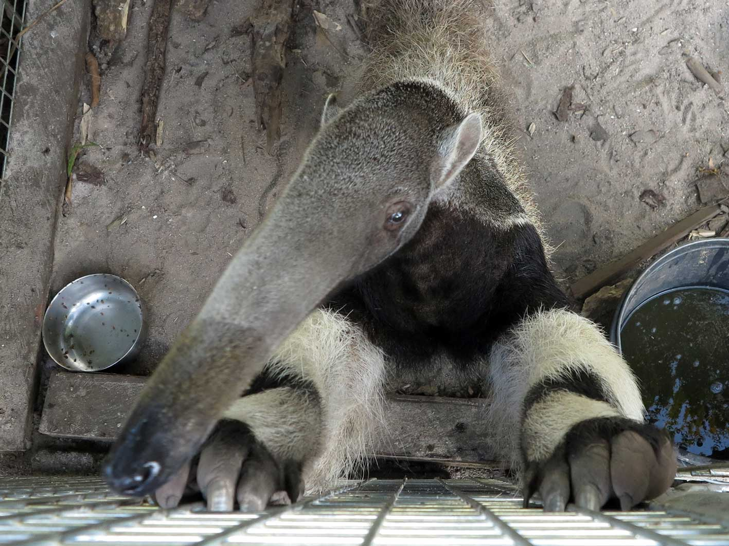 Giant anteater, 'Artie'
