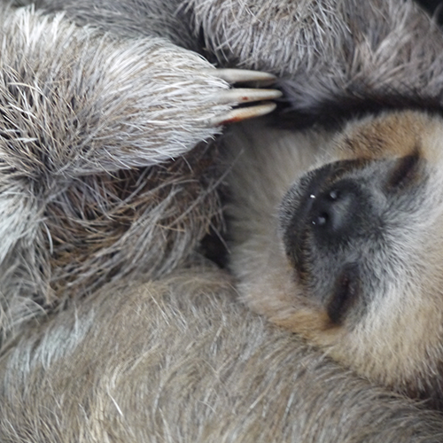 Curled Up Sloth