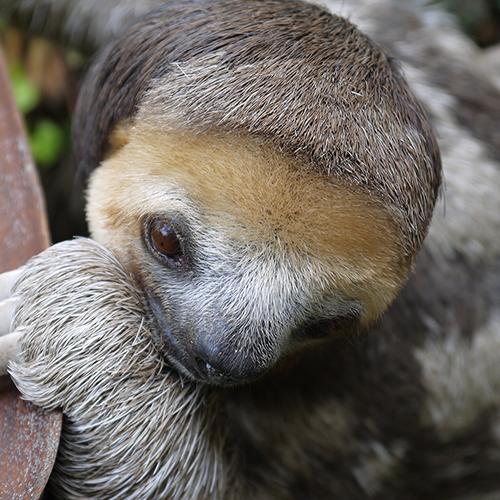 Rico the Sloth
