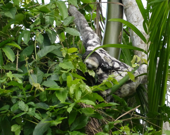 Sloth tracking & a three-toed cheer for Ann & Houtje!