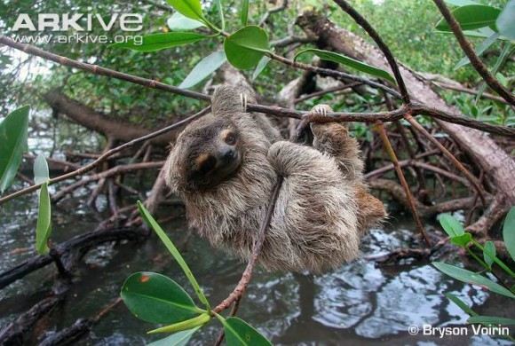 Picture of a pygmy tree-toed sloth by researcher Bryson Voirin.