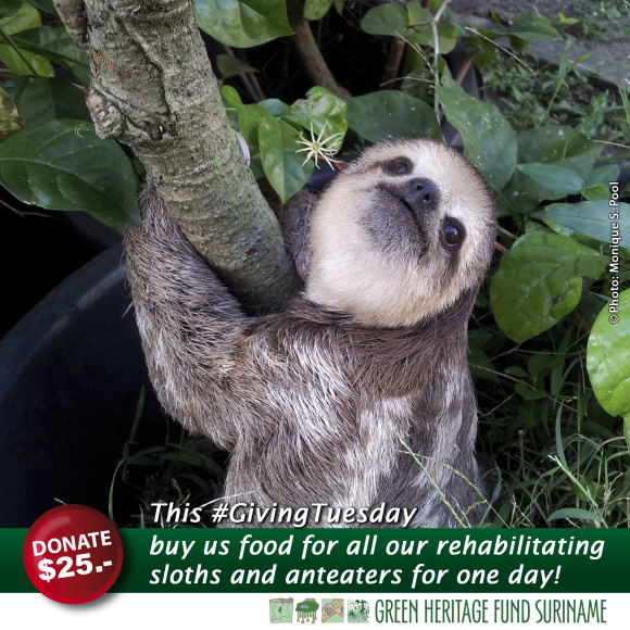 An abandoned baby sloth healing from a parasitic infection