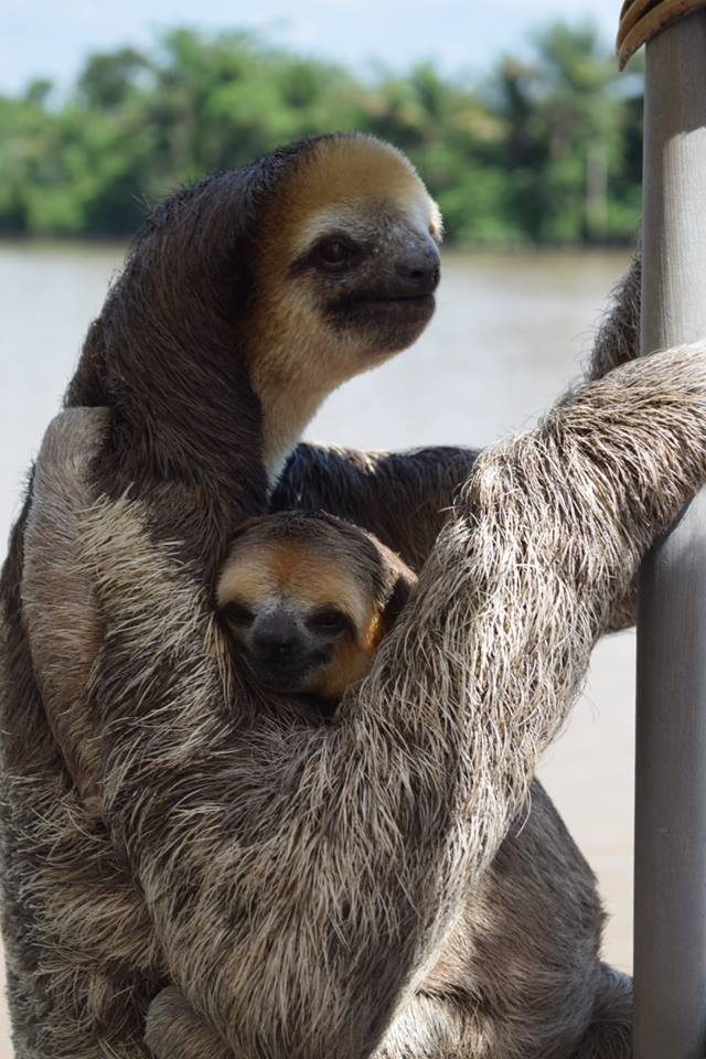 Mommy and Baby Sloth Visiting a Human Family 1