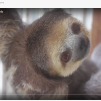 A Very Special Animal: the Sloth