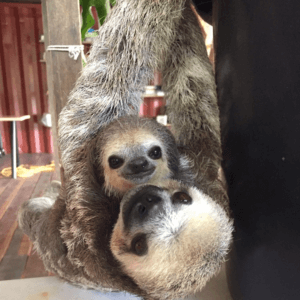 Sloths one year at the Sloth Wellness Center in Saramacca 3