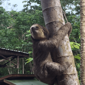 Sloths one year at the Sloth Wellness Center in Saramacca 2