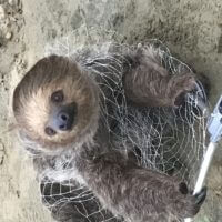 A sloth called Cliff